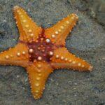 Starfish_02_(paulshaffner)